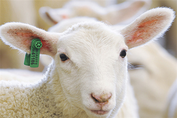 Sheep/Goat RFID ear tag